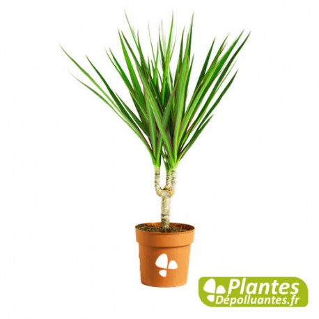 Rededged dracaena  The Spruce  Make Your Best Home